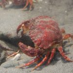 Red Rock Crab, Vancouver Island, BC