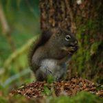 Douglas Squirrel, Vancouver Island, BC