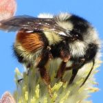 Red Tailed Bumblebee, Vancouver Island, BC