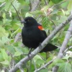 Red Winged Blackbird, Vancouver Island, BC