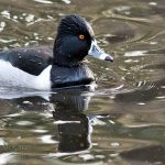 Ring Neck Duck, Vancouver Island, BC
