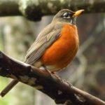 American Robin, Vancouver Island, BC
