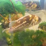 Rock Fish, Saltwater Fish, Vancouver Island, BC