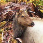 Roosevelt Elk, Vancouver Island, BC