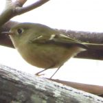 Ruby Crowned Kinglet, Vancouver Island, BC