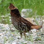 Ruffed Grouse, Vancouver Island, BC