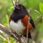 Rufous Sided Towhee, Vancouver Island, BC