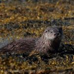 Sea Otter, Vancouver Island, BC
