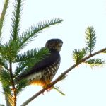 Sharp Skinned Hawk, Vancouver Island, BC
