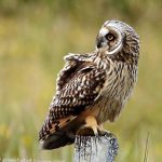 Short Eared Owl, Vancouver Island, BC