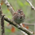 Song Sparrow, Vancouver Island, BC