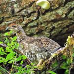 Sooty Grouse, Vancouver Island, BC