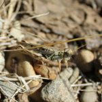 Spur Throated Grasshopper, Vancouver Island, BC