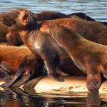 Steller Sea Lions, Vancouver Island, BC