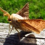 Tent Caterpillar Moth, Vancouver Island, BC