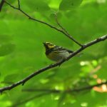 Townsends Warbler, Vancouver Island, BC