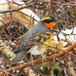 Varied Thrush, Vancouver Island, BC