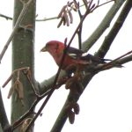 White Winged Crossbill, Vancouver Island, BC