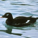 White Winged Scoter, Vancouver Island, BC