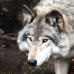 Wolf, Vancouver Island, BC