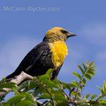 Yellow Headed Blackbird, Vancouver Island, BC