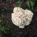 Cauliflower Mushroom, Vancouver Island, BC