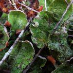 Freckle Pelt Lichen, Vancouver Island, BC