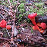 Hygrocybe Miniata, Vancouver Island, BC