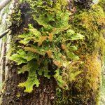 Lobaria Oregana Lichen, Vancouver Island, BC