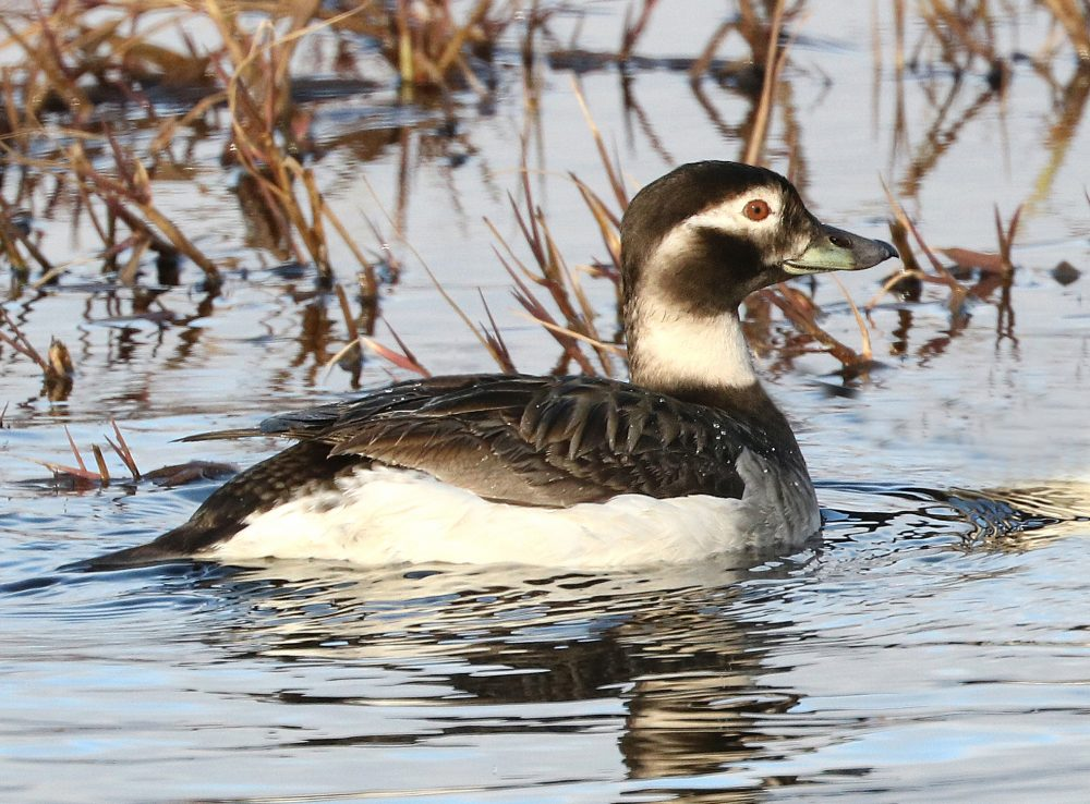 Female Long Tailed Duck, Vancouver Island, BC