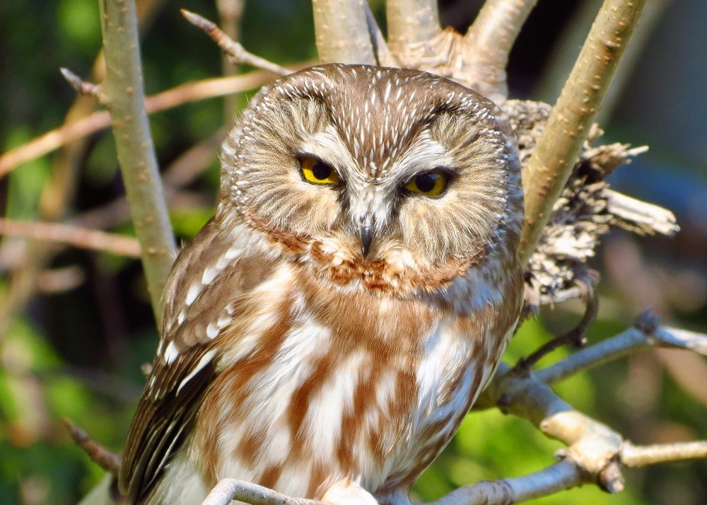 Northern Saw-Whet Owl, Vancouver Island, BC