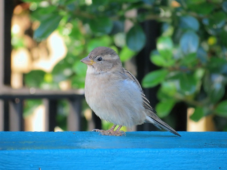 House Sparrow Juvenile, Vancouver Island, BC