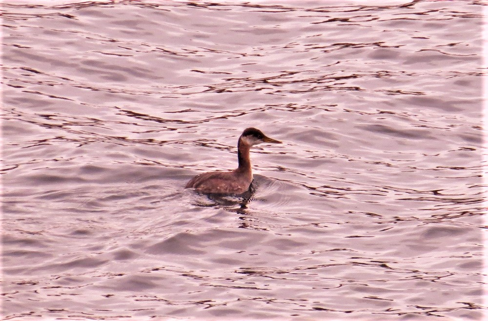 Red Necked Grebe, Vancouver Island, BC