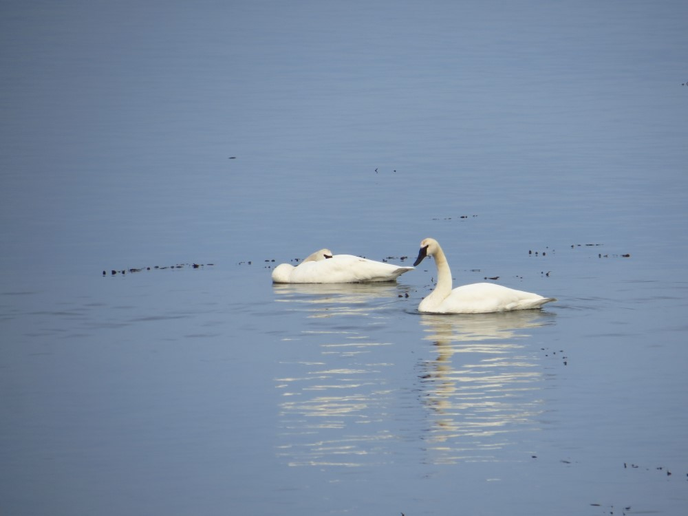 Trumpeter Swans, Vancouver Island, BC