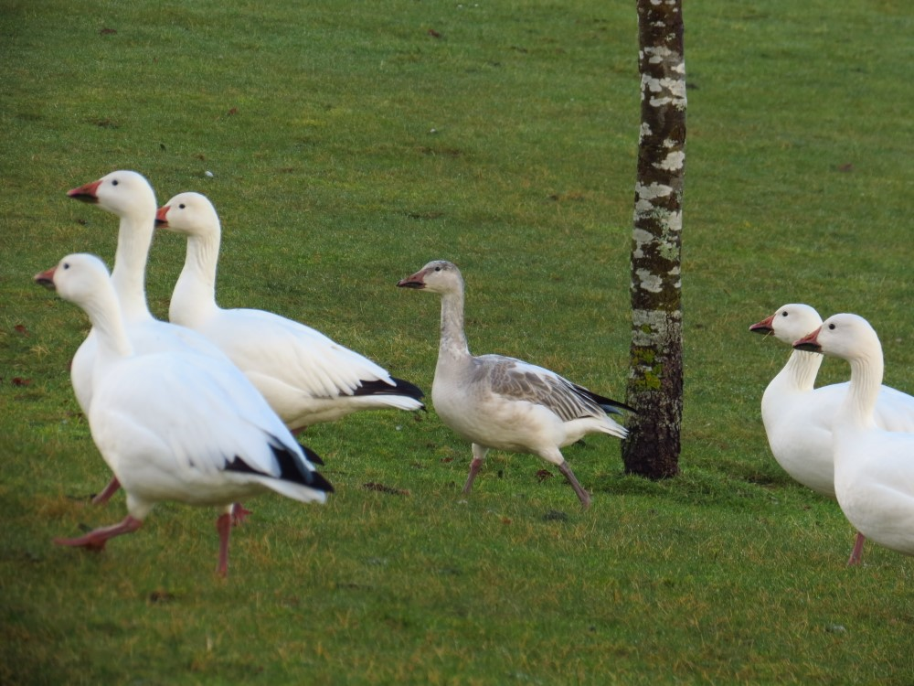 Snow Geese, Vancouver Island, BC