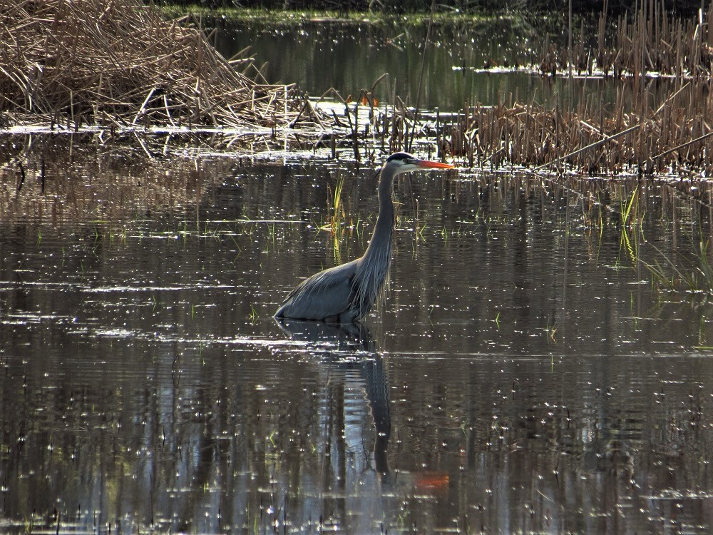 Great Blue Heron, Vancouver Island, BC,