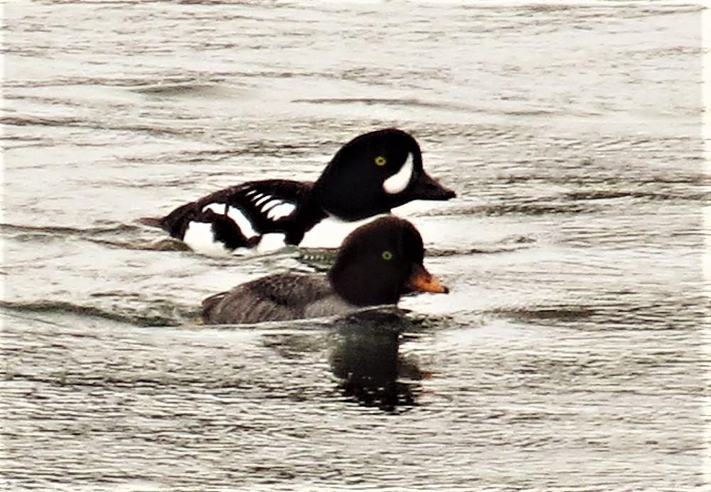 Barrows Goldeneye Duck