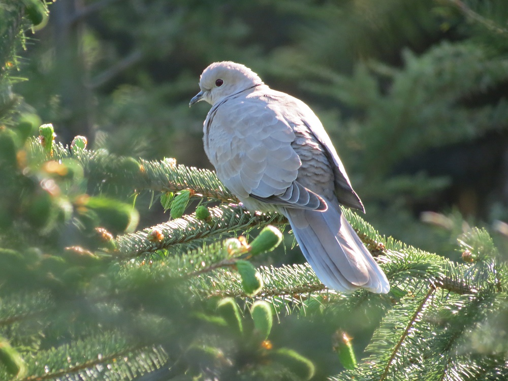Baby Eurasian Collared Dove
