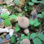 Gem Studded Puffball, Vancouver Island, BC
