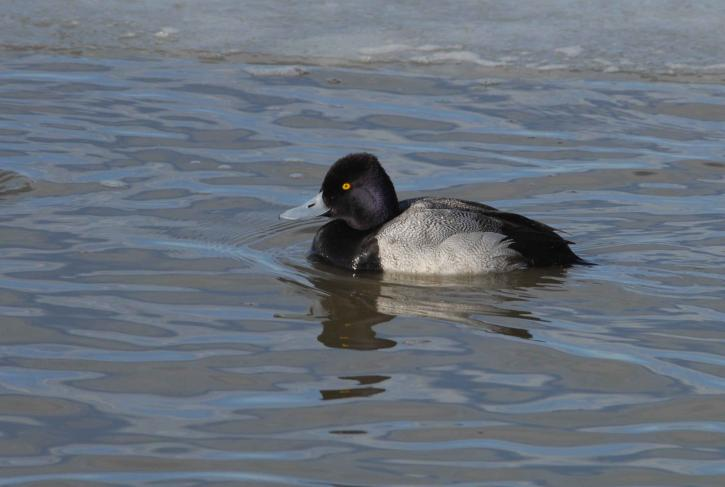 Lesser Scaup Male, Vancouver Island, BC