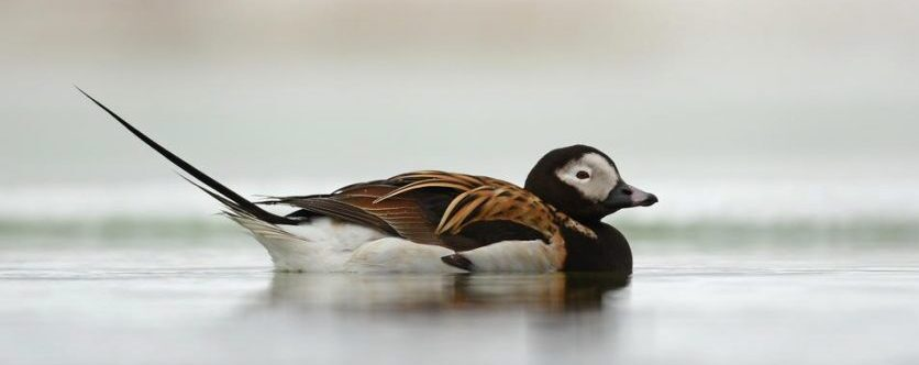 Male Long Tailed Duck, Vancouver Island, BC