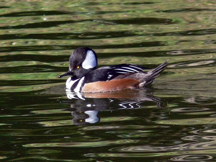 Hooded Merganser Ducks, Vancouver Island, BC