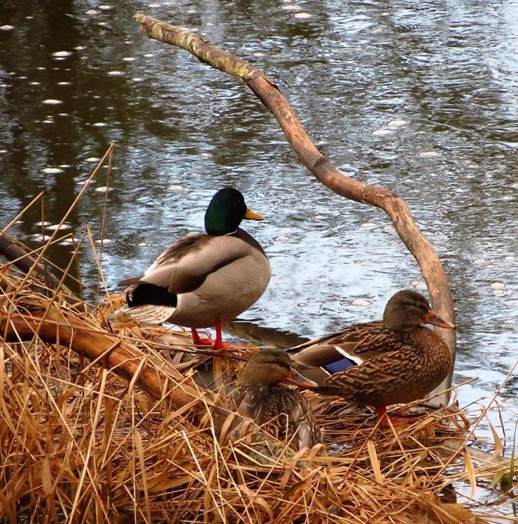 Mallard Ducks, Vancouver Island, BC