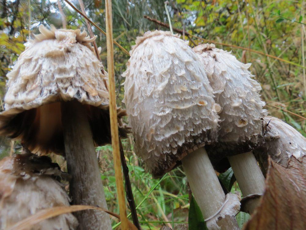 Shaggymane Mushroom, Vancouver Island, BC
