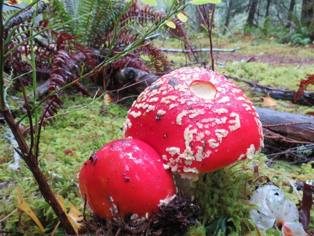 Amanita Muscaria, Vancouver Island, BC