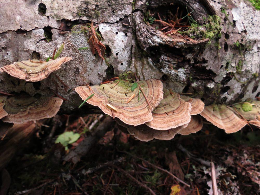 Trametes Versicolor, Vancouver Island, BC