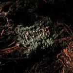 Icmadophila Ericetorum, Vancouver Island, BC