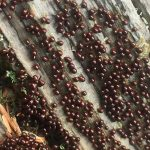 leocarpus-Fragilis, Vancouver Island, BC