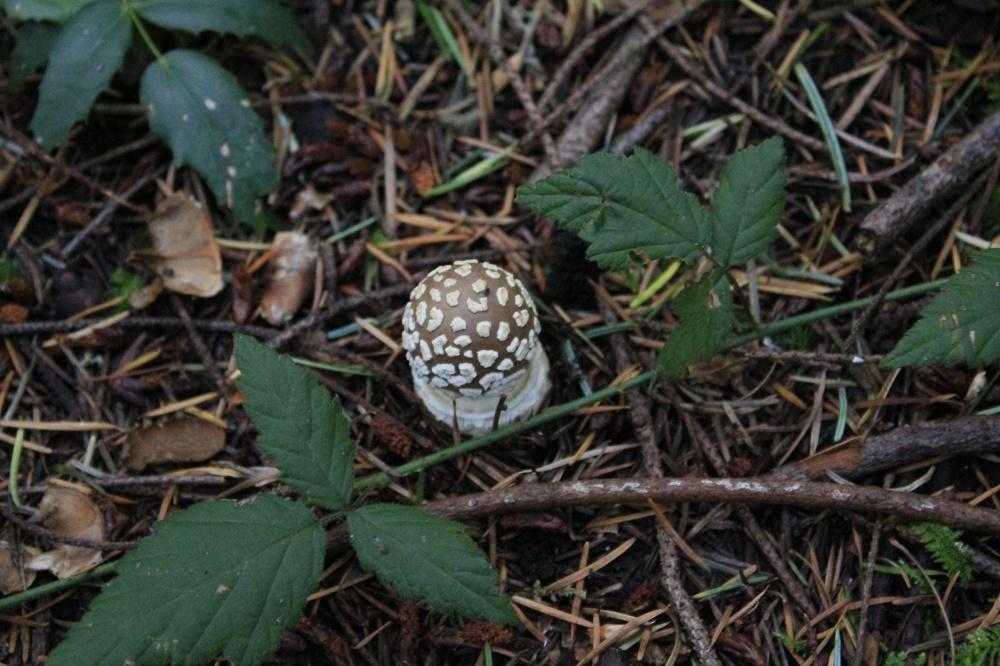 Amanita Pantherinoides, Vancouver Island, BC