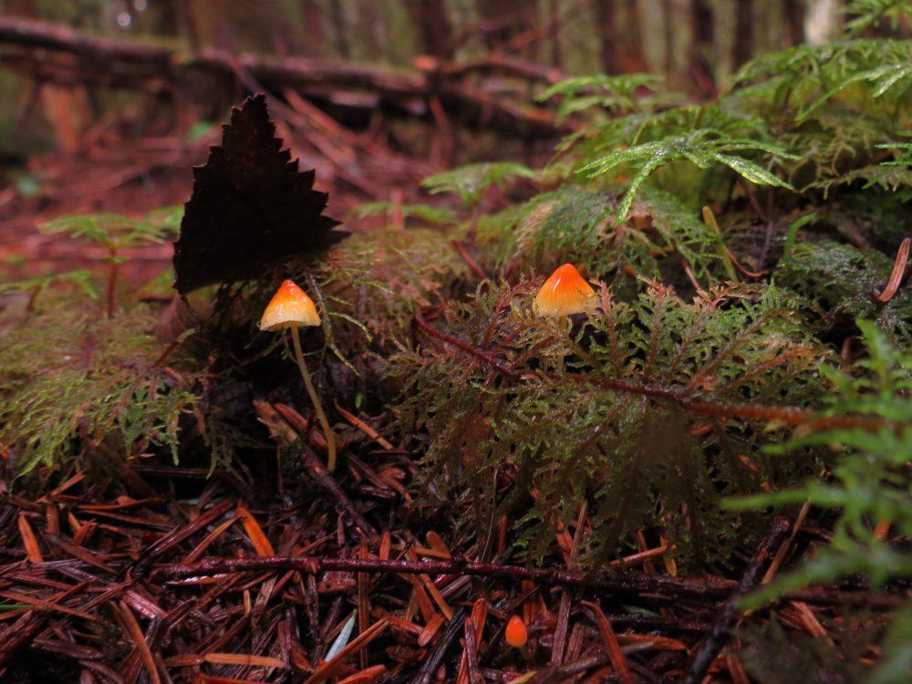 Mycena Acicula, Vancouver Island, BC